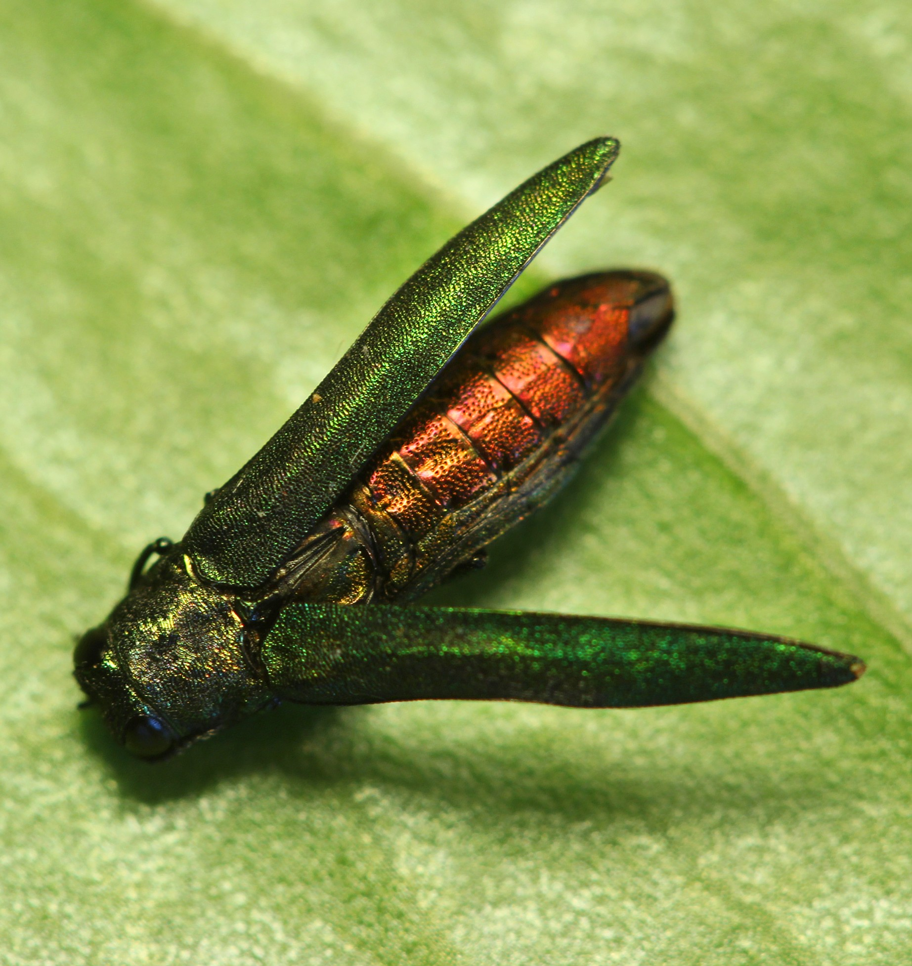Emerald Ash Borere adult red belly.jpg