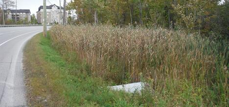 Phragmites next to a culvert in Bear Creek Wetland along a side of a road
