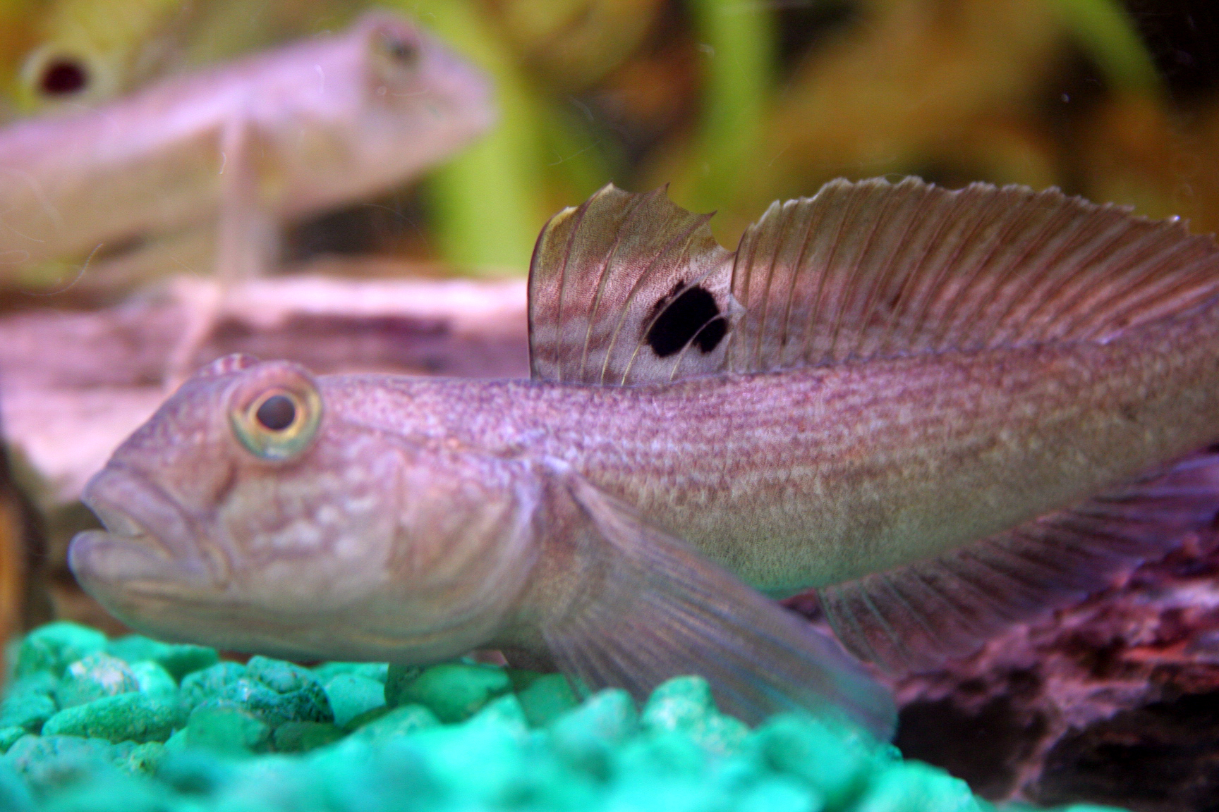 Round Goby1_Credit OFAH.jpg