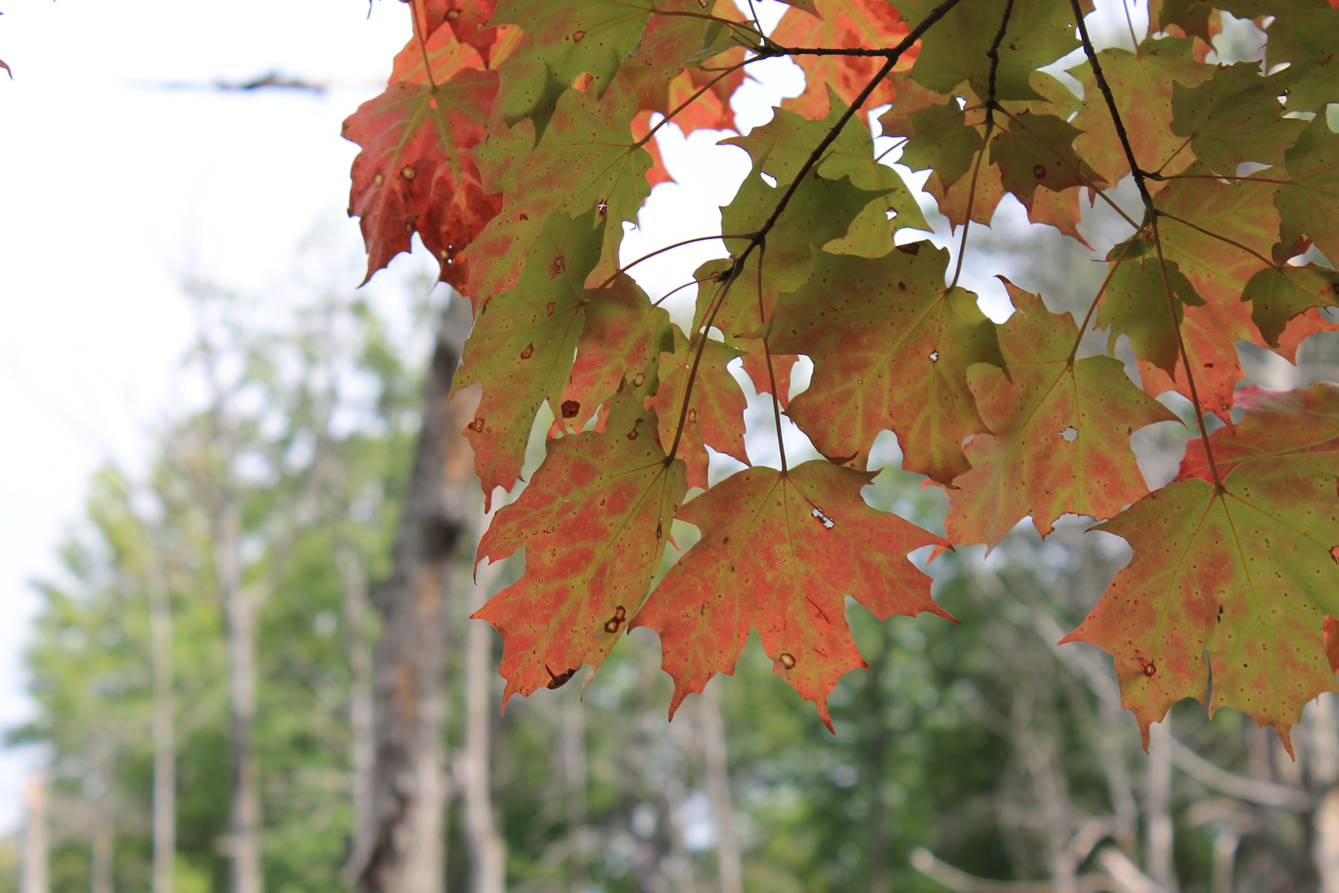 sugar maple - fall 1.JPG
