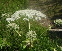 Giant Hogweed, Collingwood, 2013.JPG