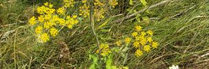 A plant with yellow flowers and brown stem